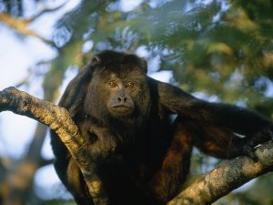 howler-monkey_467_600x450