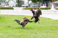 Cock-a-Doodle-Don't, Cockfighting in the Philippines