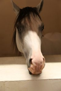 Handsome horse in the stables at Souq Waqif