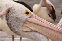 """""""Pelican Pete"""", Kangaroo Island"""