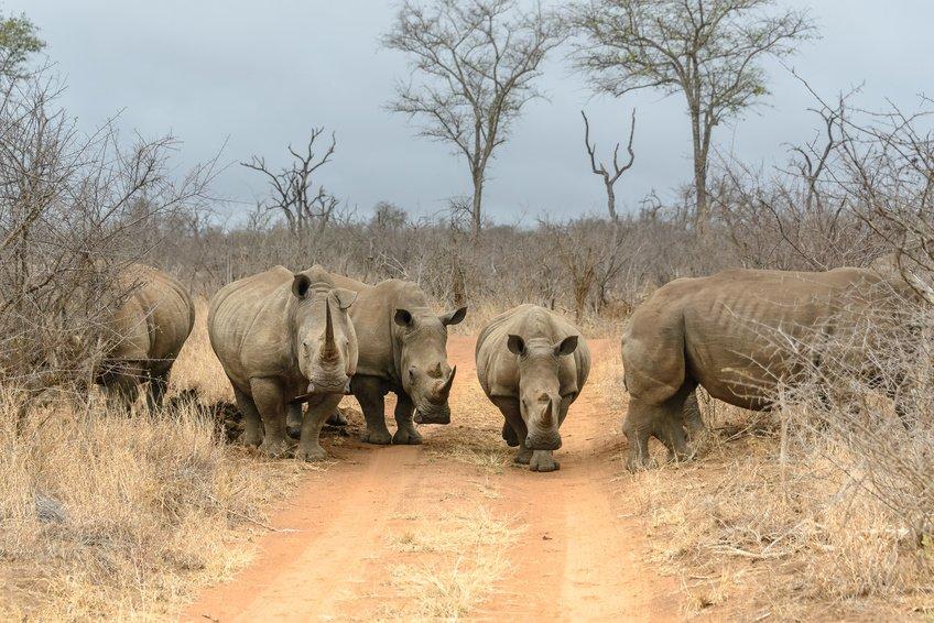 hlane-rhinos