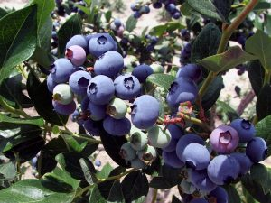 900 Wagon Rides to Blueberry picking field