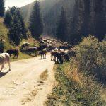 Horses on road up to Arashan
