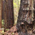 ca-redwood