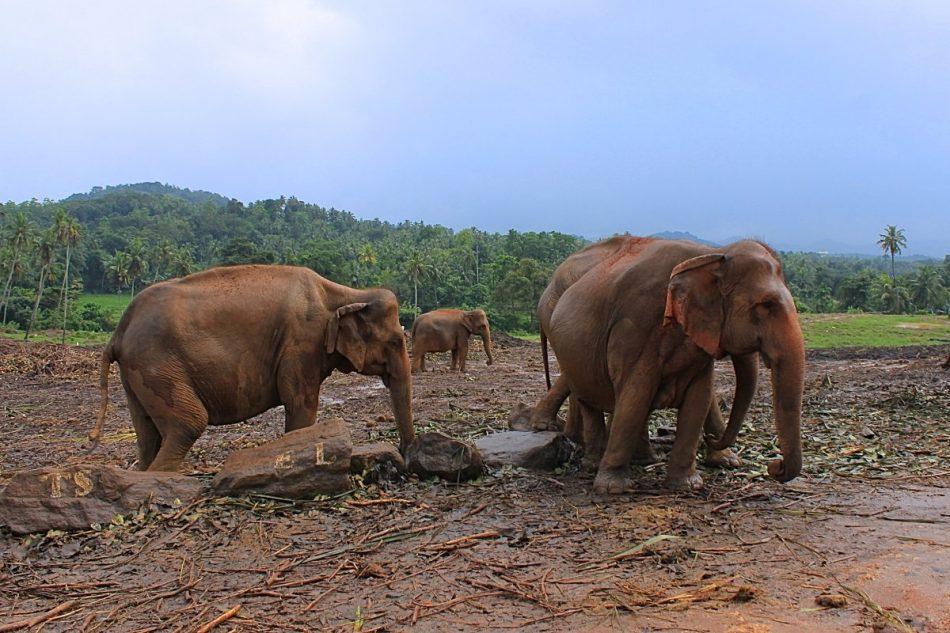 Pinnawala-Elephant-Orphanage (11)