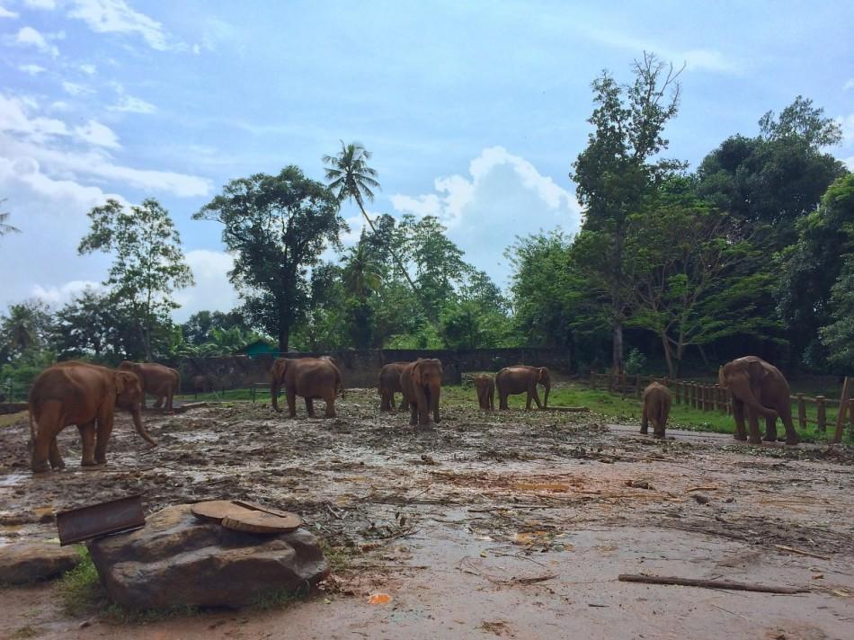 Pinnawala-Elephant-Orphanage (6)