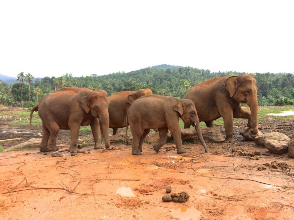 Pinnawala-Elephant-Orphanage (8)