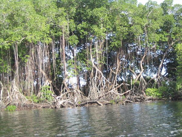 MangroveDraping