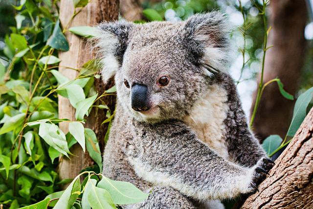 2 - Koala