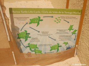 casamagna-marriott-cancun-baby-turtle-lifecycle
