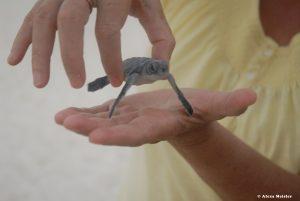 casamagna-marriott-cancun-baby-turtle1