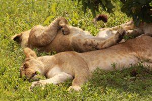 Botswana-Chobe-resting-lions