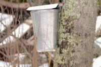 First Sweet Scent of Spring, Maple Syrup Season on Tap, Western Connecticut