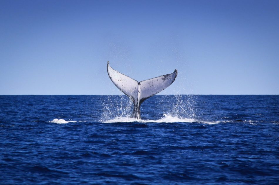 Humpback whale_credit Marc Russo