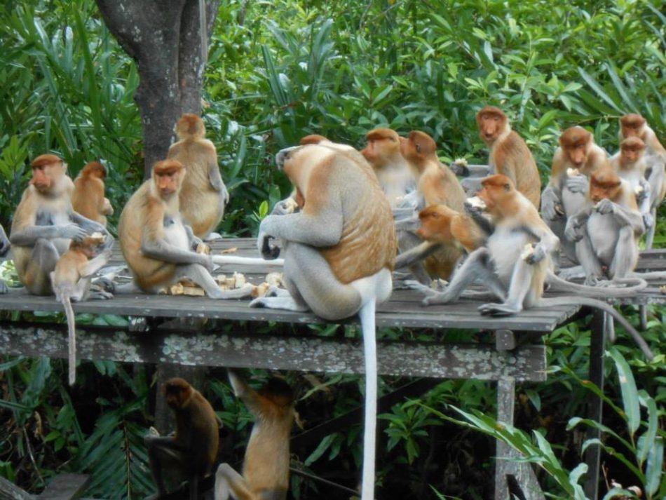 monkeys probosics