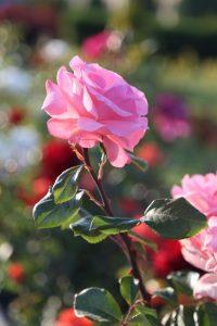 shiraz-rose