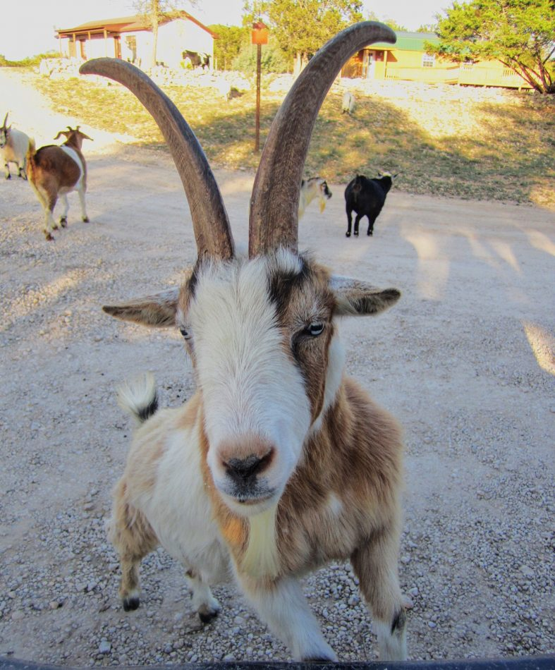 The friendly goat at Silver Spur Guest Ranch Bandera