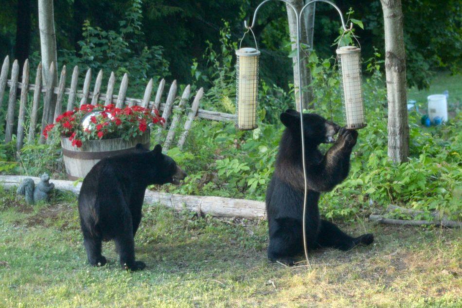 Bears-New-Hampshire (1)