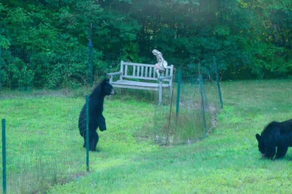 Bears-New-Hampshire (2)