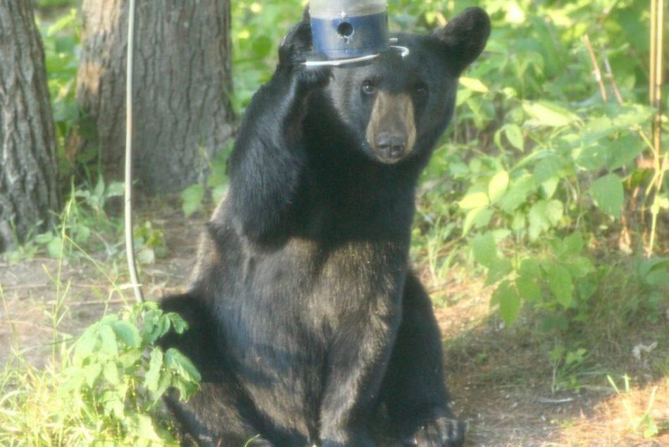 Bears-New-Hampshire (3)