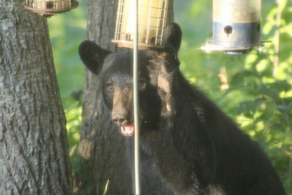 Bears-New-Hampshire (5)