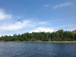 Cape Breton - Baddeck - Bras d'Or Lake - bald eagles hovering 1