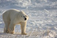 New Smithsonian Channel Docuseries – Polar Bears, Churchill Manitoba