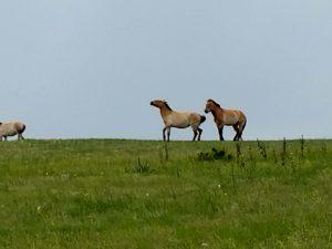 Prezwalski's wild horse at Hustai preserve