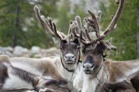 The Tsaatan Nomads – Mongolia Reindeer Herders