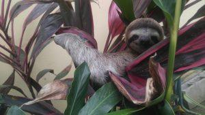 Sloth in Costa Rica   © Tishely Ortiz