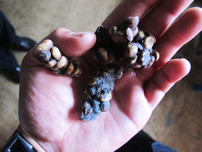 Civet poop, used for making Kopi Luwak. You can see mostly made up of coffee beans.