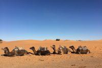 The Moroccan Sahara. A Sunset Camel Ride in Erg Chebbi.