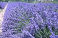 Essential Smells, Essential Oils, Exploring the Lavender Fields of Provence with Viking Cruises