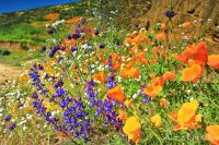 Biggest Super Bloom in Decade Blooms at Diamond Valley Lake