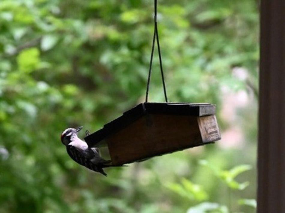 Woodpecker in Petoskey