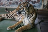 Your Guide to Big Cats in Asia