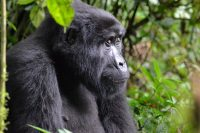 Planning a Trip to Africa to see the Gorillas