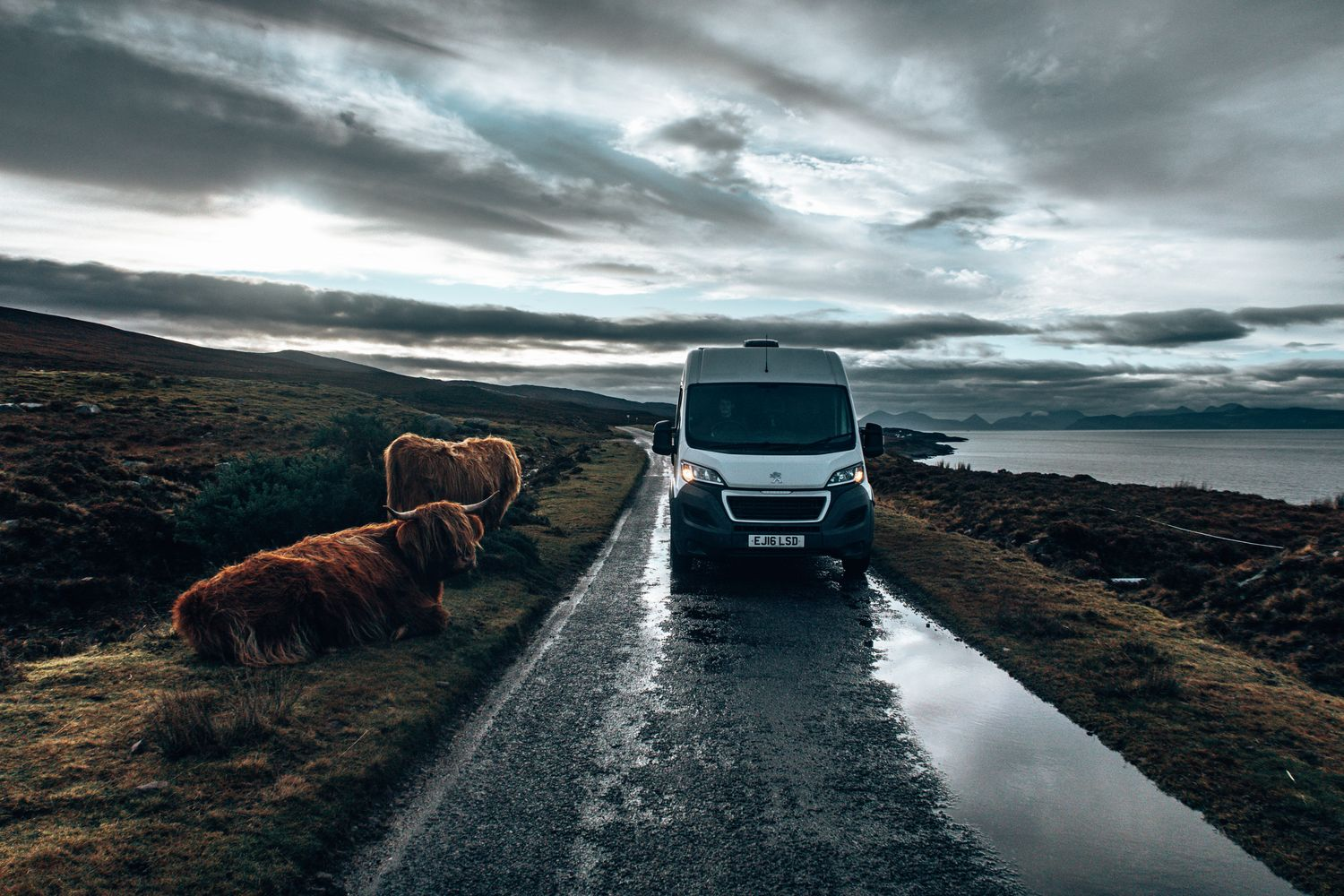 driving past Highland cows